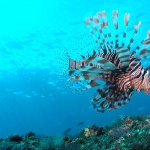Padang Bai Lionfish Baliferientours