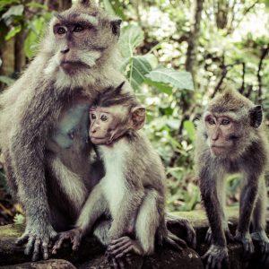 Monkey Forest Baliferientours