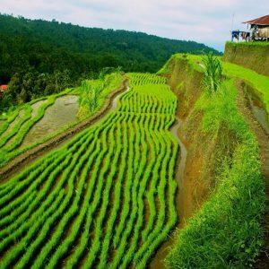 Munduk Rice Terrace Baliferientours