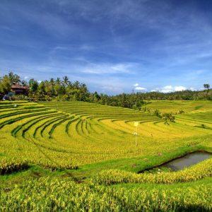 Rice Terrace Pupuan Antosari Baliferientours